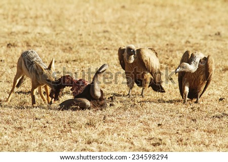 Jackal eats the remains of a Wildebeast with vultures on the Masai Mara National Reserve safari in southwestern Kenya. - stock photo