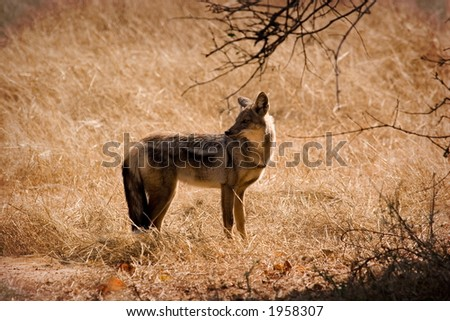 Jackal in Lower Zambezi