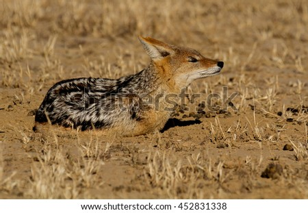 jackal in the Kalahari - stock photo