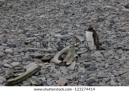 Jackass Penguin in Antarctica - stock photo