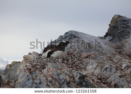 Jackass Penguins in the Antarctica - stock photo