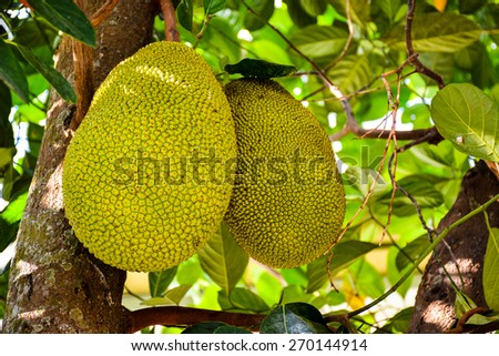 Jackfruits in the Tree - stock photo