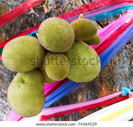 Jackfruits on Tree with Colorful Ribbons in Chiang Mai, Thailand - stock photo