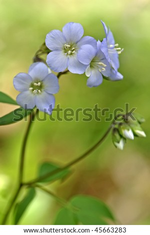 Jacob's Ladder Blossoms (Polemonium caeruleum) Vertical - stock photo