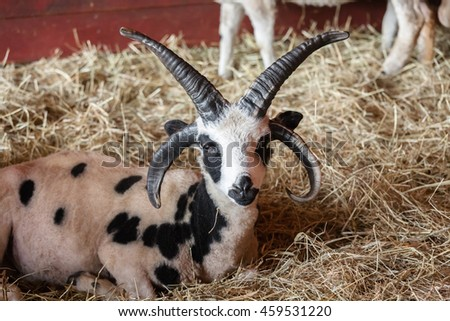 Jacob Sheep is a rare breed with a body that resembles a goat and has four to six horns.