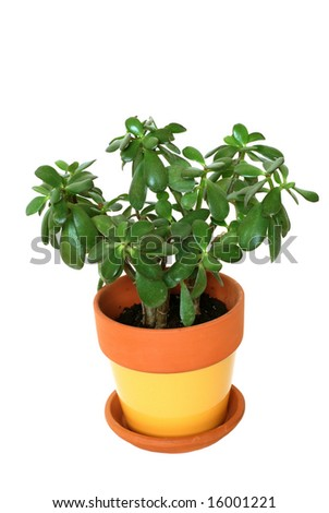 Jade plant isolated - stock photo