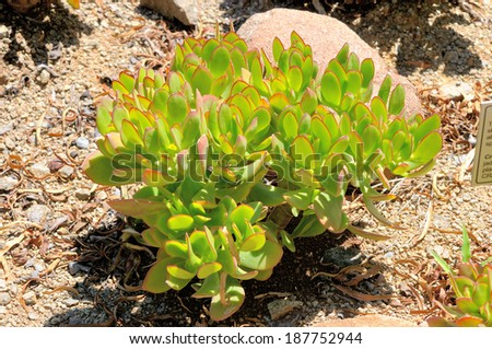 Jade plant, succulent indigenous to South Africa