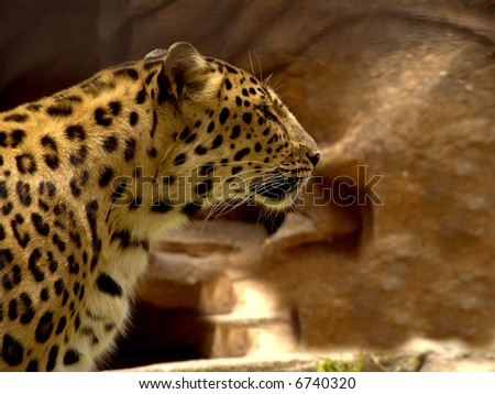 Jaguar:A large, heavily built cat that has a yellowish-brown coat with black spots, found mainly in the dense forests of Central and South America