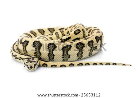 Jaguar Carpet Snake (Morelia spilota variegata) - stock photo