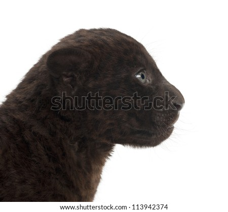 Jaguar cub, 2 months old, Panthera onca, against white background