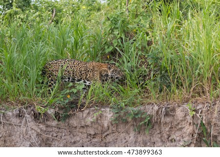 Jaguar in Brazilian Pantanal