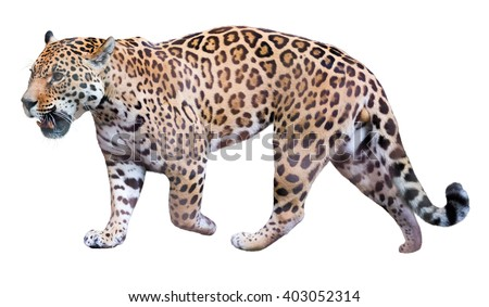 Jaguar leisurely strolls. Isolated over white background