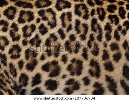 Jaguar, leopard and ocelot skin texture - stock photo