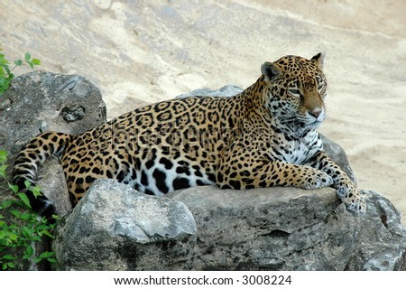 Jaguar lying on a rock and looking ahead