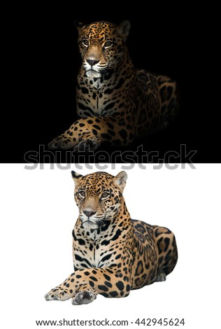 jaguar on black background and jaguar on white background - stock photo