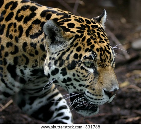 Jaguar on the Prowl - stock photo
