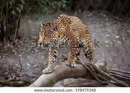 Jaguar on the tree branch  - stock photo