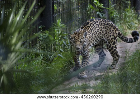 Jaguar pacing