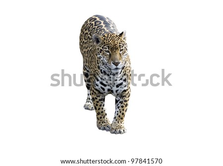 Jaguar, Panther, front view on white - stock photo