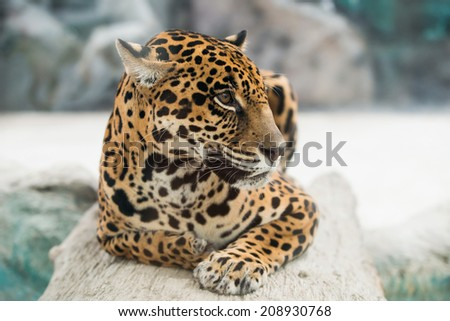 jaguar ( Panthera onca ) in zoo