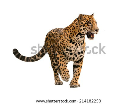 jaguar ( panthera onca ) isolated on white backgrond - stock photo