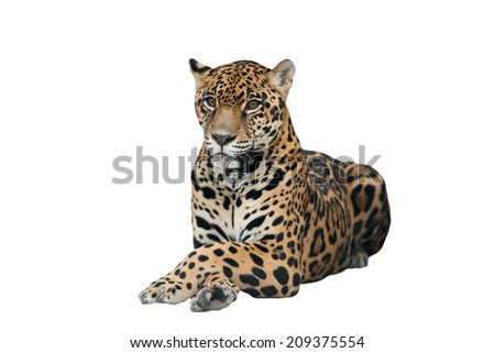 jaguar ( Panthera onca ) isolated on white background - stock photo