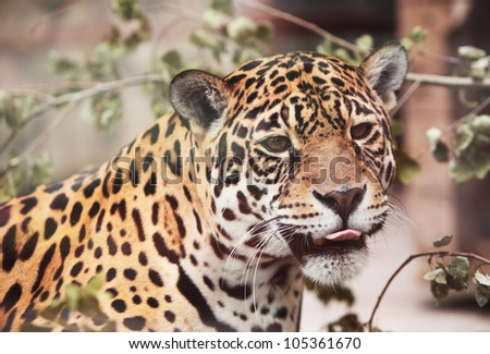 Jaguar - Panthera; onca. Portrait  of wild animal