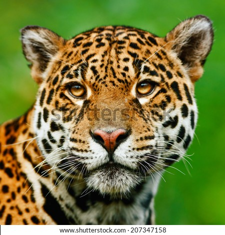 Jaguar - Panthera onca. The jaguar is the third-largest feline after the tiger and the lion, and the largest in the Western Hemisphere.  - stock photo