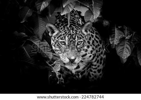 Jaguar portrait - stock photo