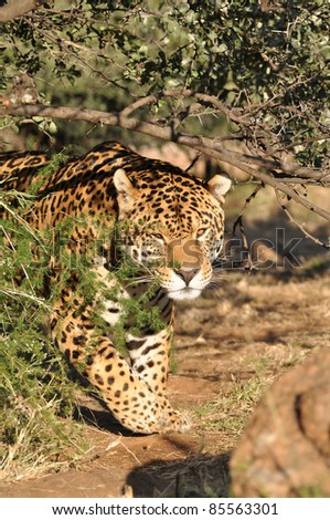 jaguar stalking