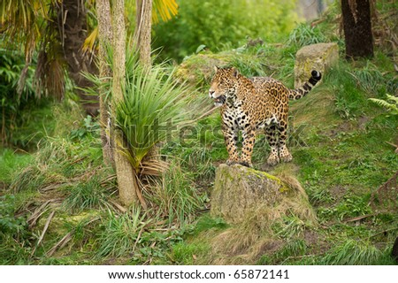 Jaguar standing on rock starring in controlled conditions.