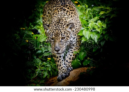 Jaguar walking in the forrest - stock photo