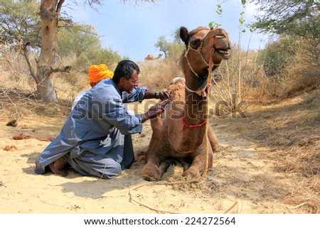 JAISALMER, INDIA-FEBRUARY 18: Unidentified man grooms camel during safari on February 18, 2011 in Jaisalmer, India. Camel safaris in That desert are very popular among tourists from Jaisalmer - stock photo