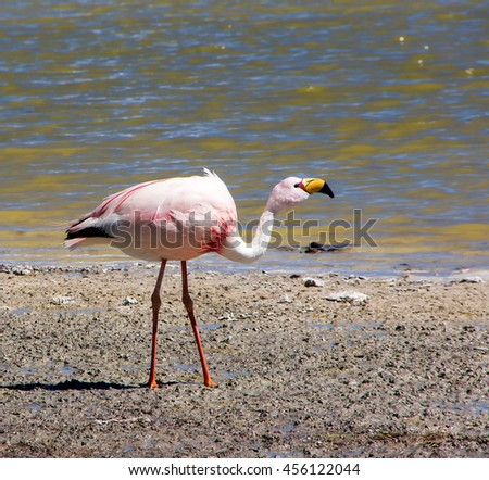 James's flamingo  on the background of the Alpine lakes in the Bolivian Andes. Also known as the puna flamingo, is populates in high altitudes of Andean plateaus  in Peru. Chile. Bolivia and Argentina - stock photo
