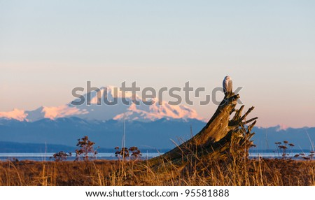 January 2012,  About 28 snowy owls near the foot of 72nd Street on Boundary Bay, Delta, BC, Canada - stock photo