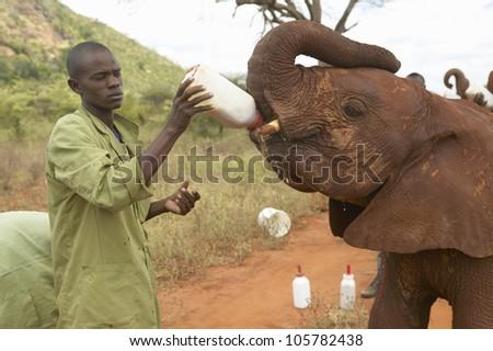 JANUARY 2005 - African Elephant keeper feeding milk to Adopted Baby African Elephants at the David Sheldrick Wildlife Trust in Tsavo national Park, Kenya - stock photo