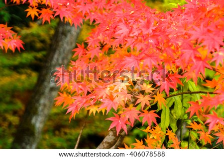 Japan acer leaves (momiji) in autumn