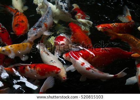 Wild koi stock photos royalty free images vectors for Japan koi wild