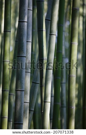 Japan, Kyoto, bamboo grove, close-up