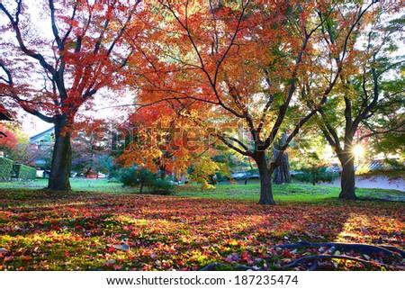 Japan Kyoto Maple - stock photo