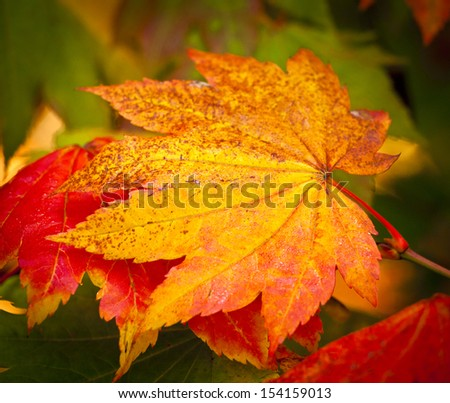 Japanese acer leaves revealing the beautiful autumnal colours of the changing seasons.