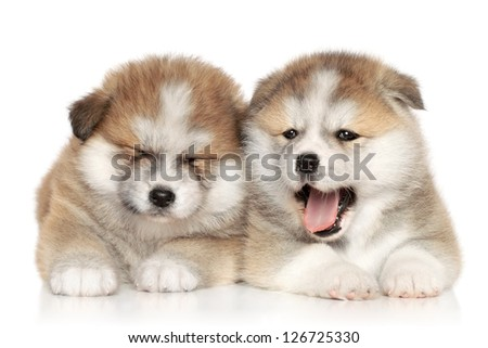 Japanese Akita_inu puppies resting on a white background - stock photo