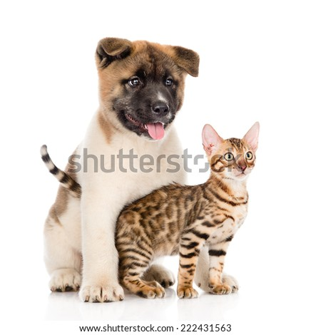 Japanese Akita inu puppy dog hugs little bengal cat. isolated on white background