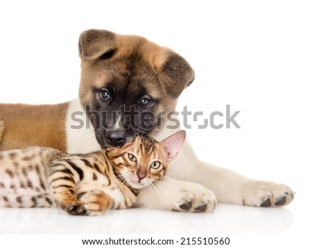 Japanese Akita inu puppy dog lying with small bengal cat together. isolated on white background