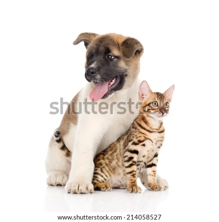 Japanese Akita inu puppy dog sitting with little bengal cat. isolated on white background