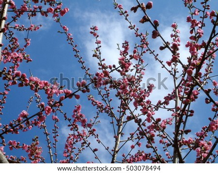 japanese apricot flower and spring sky