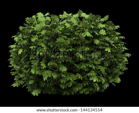 japanese aralia bush isolated on black background - stock photo