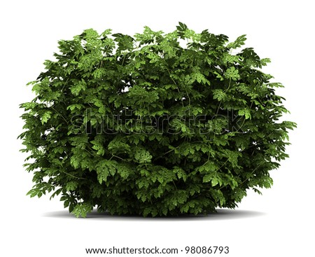 japanese aralia bush isolated on white background