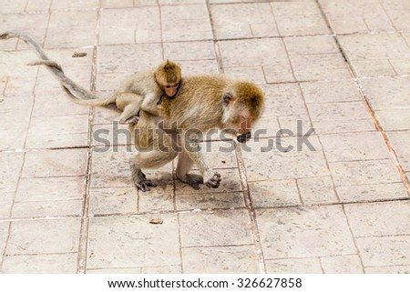 Japanese baby macaque on back of its mother