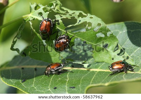 Japanese Beetle -  Popillia japonica - stock photo